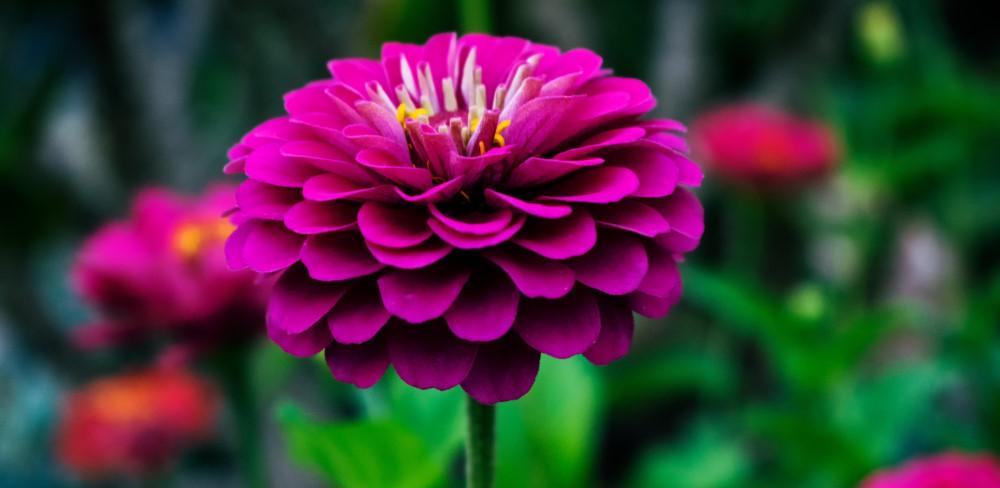 Dahlia bloemen voor in de bloemebak